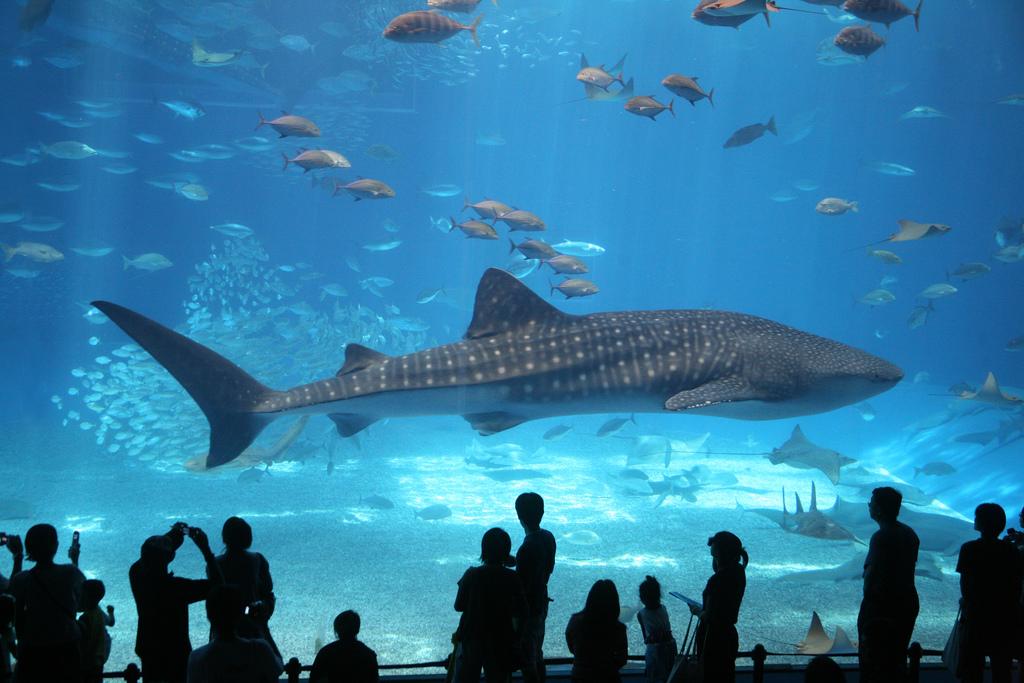 okinawa-churaumi-aquarium